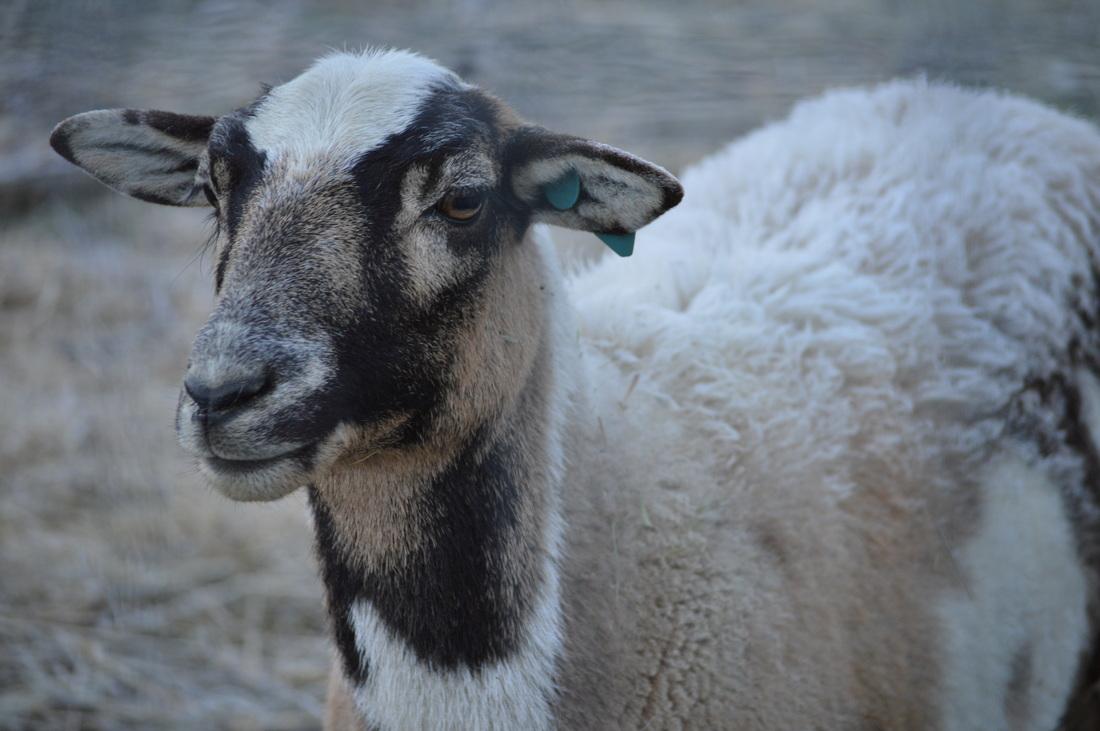 Why is wool so great? It's not just all the different ways it can be used. It's also the connection to the sheep, the shepherd, and the land.